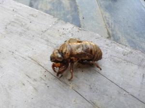 cicadashellside