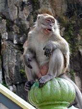 Monkey_batu